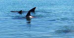 Delfinfinnen